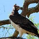 MARTIAL EAGLE - Polemaeus bellicosus – BREEKOPAREND by Magaret Meintjes