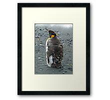 Moulting King Penguin Framed Print