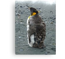 Moulting King Penguin Canvas Print