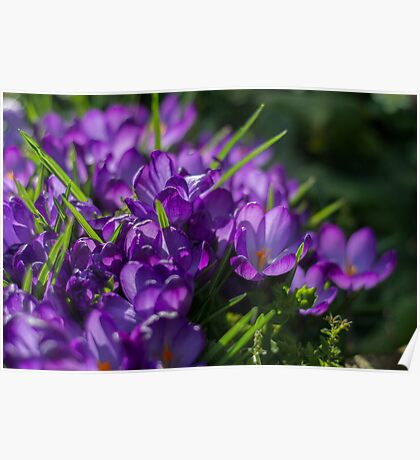 Purple Crocuses Poster