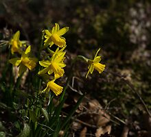 Daffodils by English Landscape Prints