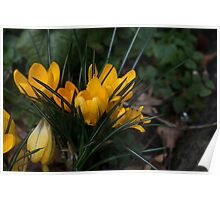 Yellow Crocuses Poster