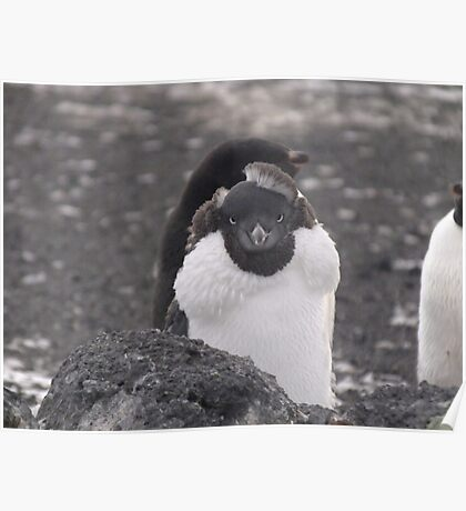 Adelie Penguin - moulting Poster