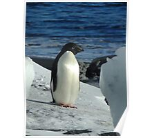 Adelie Penguin - Cape Royds Poster