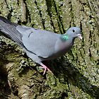 Stock dove (Columba oenas Linnaeus) by Peter Wiggerman