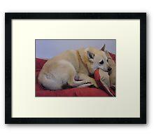 Comfy Buhund Framed Print