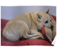 Comfy Buhund Poster