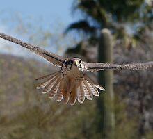 Prairie Falcon by tomryan