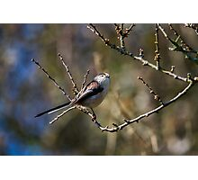 Long-Tailed Tit Pose! Photographic Print