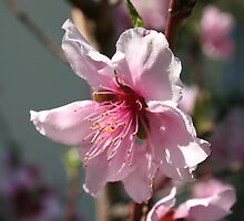 Close Up of Peach Tree Blossom by taiche