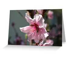 Close Up of Peach Tree Blossom Greeting Card