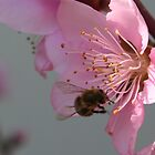 Honey Bee Feeding on Peach Tree Blossom by taiche