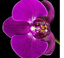 Radiant Orchid by Mary Ann  Lewis