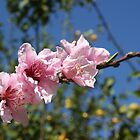 Peach Tree Blossom Against Blue Sky by taiche