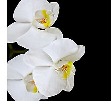 Cascading White Orchids by Mary Ann  Lewis