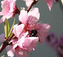 Unknown Visitor To Peach Tree Blossom by taiche