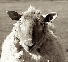 Sheep in black and white by shootingnelly