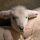 New-born Lamb under Heat Lamp by Sue Robinson