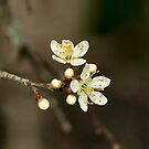 White Blossom by Sue Robinson