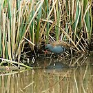Water Rail by Sue Robinson