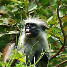 Zanibar Red Colobus Monkey's 2014 by maureenclark