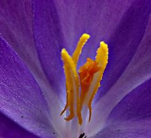 Blue Crocus by PicsbyJody