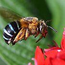 beautiful bee by Belinda Cottee