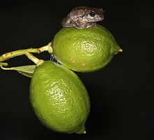 Peron's Tree Frog on lemons  by HarrisonWarne