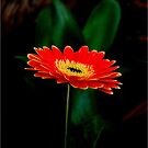 IN THE SHADE - The Barberton Daisy - Gerbera jamesonii  by Magriet Meintjes