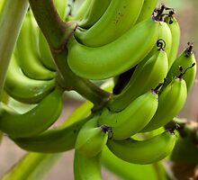Cluster of fresh bananas by photoeverywhere
