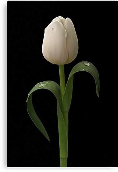 White Tulip by Patricia Jacobs CPAGB LRPS BPE4