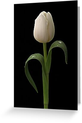White Tulip by Patricia Jacobs DPAGB LRPS BPE4