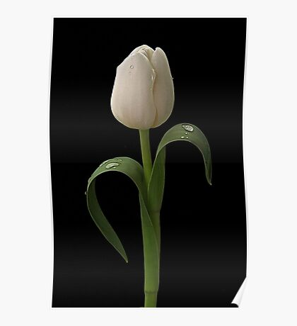 White Tulip Poster