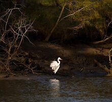 Intermediate Egret by Steve Bass