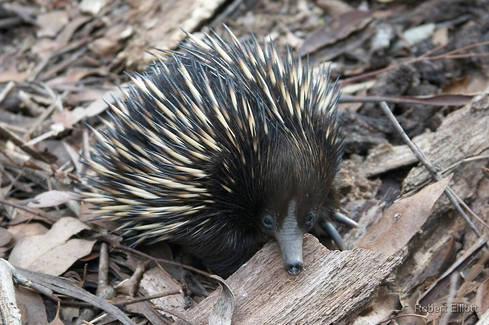 Echidna by Robert Elliott