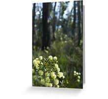 flowering wattle Greeting Card
