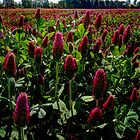 Sometimes I see Red ~ Red Clover ~ by Charles & Patricia   Harkins ~ Picture Oregon