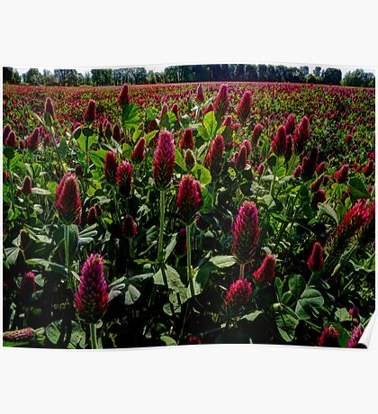 Sometimes I see Red ~ Red Clover ~ Poster