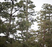 pine tree background by photoeverywhere