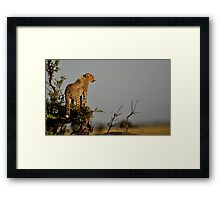 Cheetah cub on the lookout Framed Print