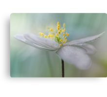 Gorgeous Wood Anemone... Canvas Print