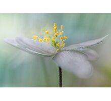 Gorgeous Wood Anemone... Photographic Print