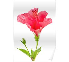 Beautiful pink hibiscus flower Poster