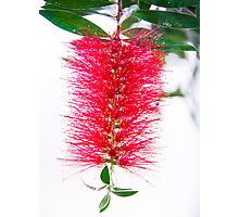 Tropical Red Bottlebrush Flower Photographic Print