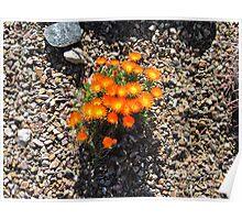 Orange Desert Flowers Arizona Style Poster