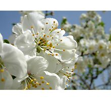 Flower Plum Photographic Print