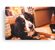 Sweet Bernese Mountain Dog Canvas Print