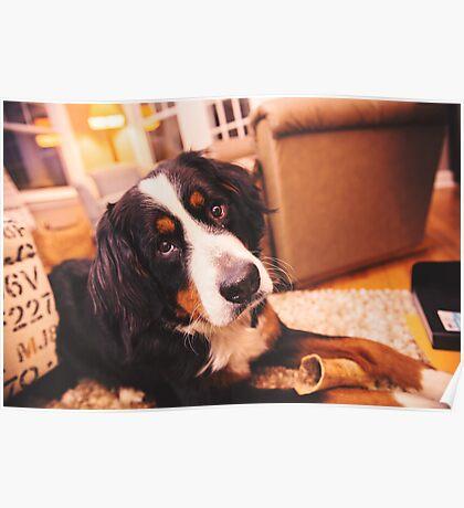 Sweet Bernese Mountain Dog Poster