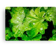 Lady's Mantle Flower Canvas Print