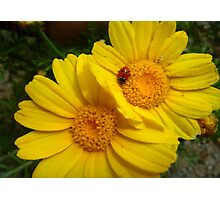 Yellow Daisies Photographic Print